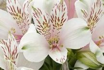 Inkalilie / Pins rund um Inkalilien. Ideen für Blumensträuße und Tischdekoration