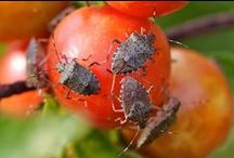 Insect Pests of Plants