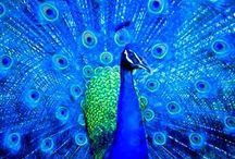 P e a c o c k   ( W r i t i n g   M o o d   S e r i e s ) / What is more dynamic and show-stopping than a peacock? The different moods of peacock writing: dominant, confident, opinionated, in-your-face, bad-ass, edgy...