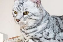 Sittingpretty Cats: Bengals / Breeders of outstanding Bengal and Savannah cats from early generation through to SBT www.sittingprettycats.co.uk