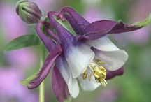 "Flowers: Columbines / Aquilegia / This genus deserves its lofty names, which mean ""eagle"" and ""dove,"" because its intricate flowers have been said to resemble birds in flight."
