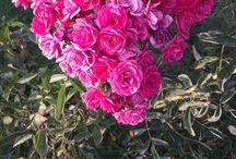 Hobi Bahçemin Nimetleri / Mersin Mezitli İlçesi Kuyuluk Beldesinde 165 metre rakımlı yarı Tropik hava koşullarında geniş bir hobi bahçemin bir arada kolay rastlanmayan güzelliklerini botanik meraklılarıyla paylaşmak istedim.