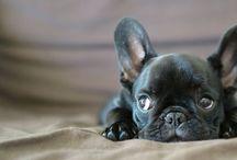 BullDog Francese ☻ / Immagini di cani BullDog Francese