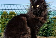 Maine Coon cat / The best Cat breed ever!. Maine Coon is the worlds 2nd best domestic Cat