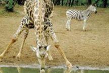 Afrika safari / Nyati Safari tilbyr en unik samling av luksussafari i hele det sørlige Afrika, inkludert å eie luksuriøse lodger i Sør-Afrika og Mosambik.