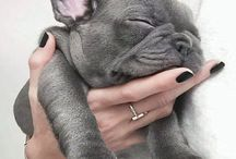 French Bulldogz