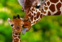 Creatures | Glorious Giraffes / God has a sense of humor, as seen in some of the animals he's created!  I love giraffes, gentle creatures with pretty coats & funny tongues!