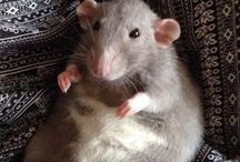 Lovely Rat