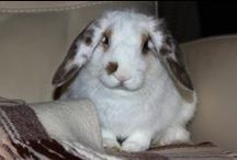 Rabbits / Dwarf Rabbits
