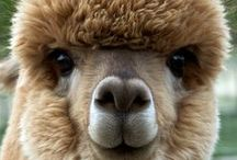 ALPACAS / alpacas-kids-children-learning-education-language-fun