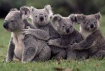 KOALAS / kids-children-learning-education-language-fun-koalas