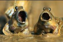 MUDSKIPPERS / kids-children-learning-education-language-fun-fish-mudskipers