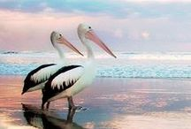 PELICANS / kids-children-learning-education-language-fun-bird-pelican