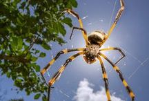 GOLDEN ORB WEAVER / kids-children-learning-education-language-fun-spider-golden orb weaver