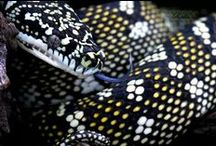 CARPET PYTHONS / kids-children-learning-education-language-fun-snake-python