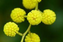 Wattle / The Golden Wattle (Acacia pycnantha) is Australia's national floral emblem.