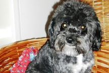 luuuv♥ / My 5 year old havanese puppy. Love love love♥♥♥