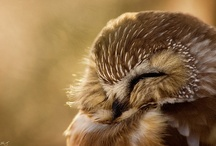 Owls / Because I think they're cute and funny