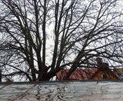 Kaštan / Život stromu