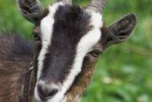 Home Farm Goat Edition