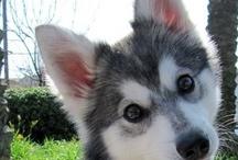 dogs, huskis: