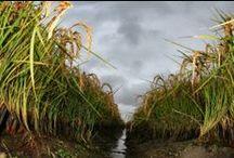 Il Riso arriva dall'Africa - Rice comes from Africa / L'incipit del Riso? Il continente madre, l'Africa - Rice's incipit? Africa, the Mother of continent. (txt. A.Tinarelli - ph. A.Cherchi)