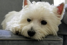 Westies-Love them / by Dianne Ellinger