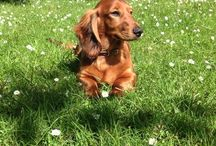 Oscar, the Standard Longhaired Dachshund / My beautiful and clever dog
