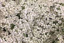DIY {White/Cream Flowers} Wedding Flowers / Looking to buy some white flowers...contact the Flowermonger! DIY Weddings | DIY Flowers | Wedding bouquets | Wedding flowers |