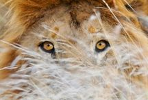 Wild Cats / Wonderful, interesting picks of the wild cats, lions, tigers, jaguars, and any other wild cats I come across.