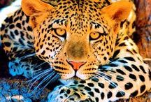 ❤Big Cats❤ / Thank you for following me and pinning politely✿⊱╮  / by Christie