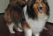 Shelties / by Gina Eikenberry-Wray