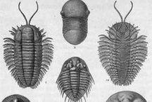 Fossile - Paléonthologie / Un fossile (dérivé du substantif du verbe latin fodere : fossile, littéralement « qui est fouillé ») est le reste (coquille, os, dent, graine, feuilles...) ou le simple moulage d'un animal ou d'un végétal conservé dans une roche sédimentaire. Les fossiles et les processus de fossilisation sont étudiés principalement dans le cadre de la paléontologie, mais aussi dans celui de la géologie.