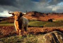 Highland Cows / You'll see Highland Cows in the fields around Balmaha, Loch Lomond. Here are a few pictures of our favourite neighbours!