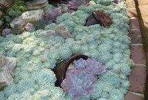 garden stonecrop,