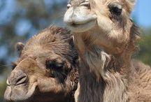 """Dromadaire et chameau / """" C'est le chameau qui a deux bosses. Mais comme il n'y a pas de miroir dans le désert, tant qu'il n'a pas croisé un dromadaire, il ne le sait pas. """"    (Patrick Sébastien)"""