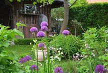 Violettes Gärtnerlatein / Gartendekoration im Mai