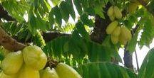 Arbres fruitiers / Aucun arbre n'a donné des fruits sans avoir eu d'abord des fleurs (Proverbe ashanti)