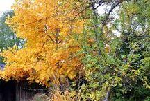 Herbstfeuerwerk / Dekoration im Herbst, Gartendekoration, Astern, Tulpenbaum, Herbstfeuerwerk
