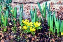 Frühling / Winterlinge, Frühling, Gartendeko im Frühling, Schneeglöckchen