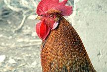 Rund um's Ei / Ostern, Hühner, Ei, Hühnerei, Lohmann Hühner, Frühstücksei
