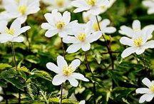 Osterspaziergang / Schloßpark Großkochberg, Buschwindröschen, Kaiserkronen, Garten im Frühling, Frühlingsblumen