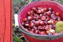 Chestnuts & Cider / A foodie hop to Southwestern Michigan (from the Chicago area) coming up!  Saturday, October 4th.  Join us!  travelblendtours.com