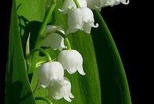 a gyöngyvirág