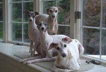Iggys & friends / Italian Greyhound, Site Hounds etc / by L D