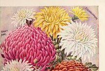 Flowers * Dhalia