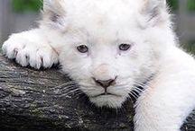 Animals * White Leon