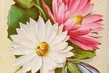 Flowers * Lotus