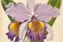 Flowers * Iris