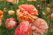 Flowers * Ranunculus